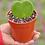 """Thumbnail: Sweetheart Hoyas - 4"""""""