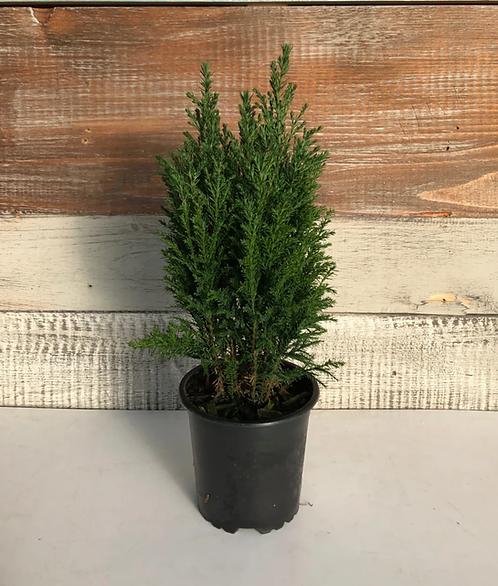 """Euro Cypress (ellwoodii) - 4"""""""