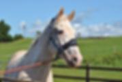 White horse in field.jpg