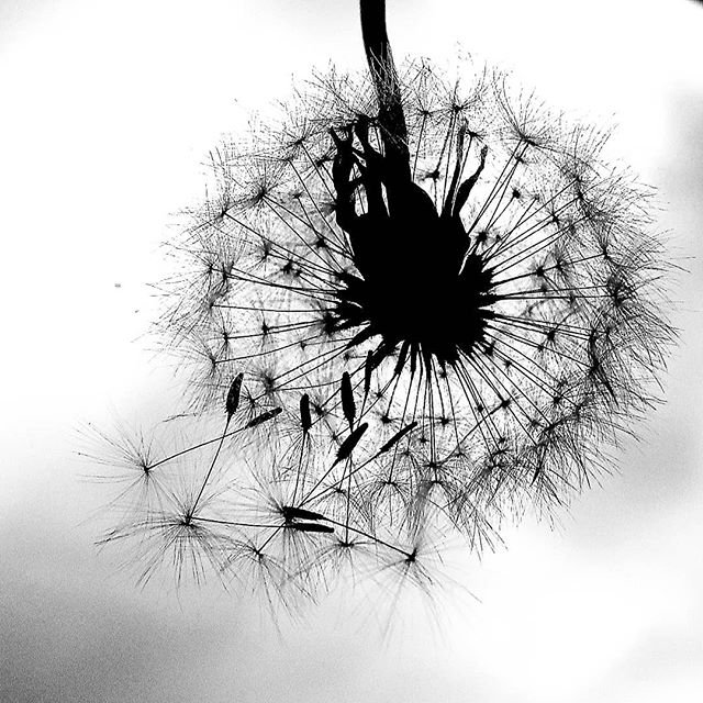 #monochromeMonday #dandelionnoir #goingt