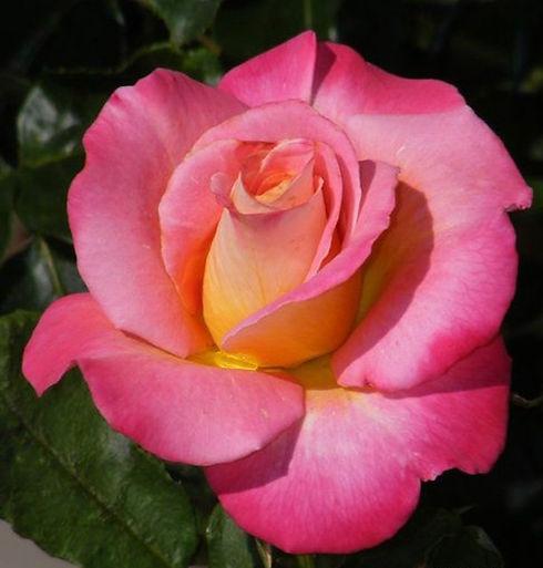 Rose_1.jpg