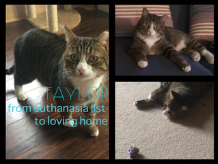 "From Euthanasia to Loving Home: Taylor the ""Feral"" Cat"