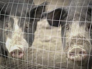 Berkshire Pigs Daisy and Roscoe