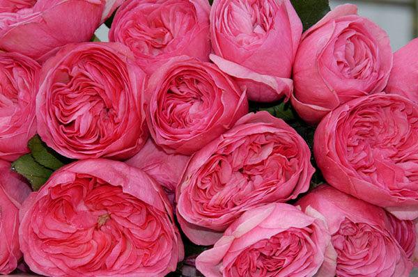 Mariatheresia Deluxe Garden Roses