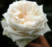 Whit O'Hara Deluxe Garden Rose