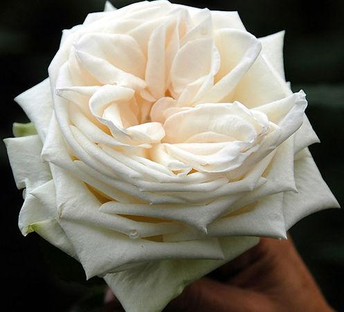 WHITE O'HARA®