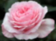 Mayra's Rose Deluxe Garden Rose