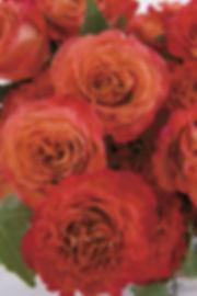 Sunset Deluxe Garden Rose