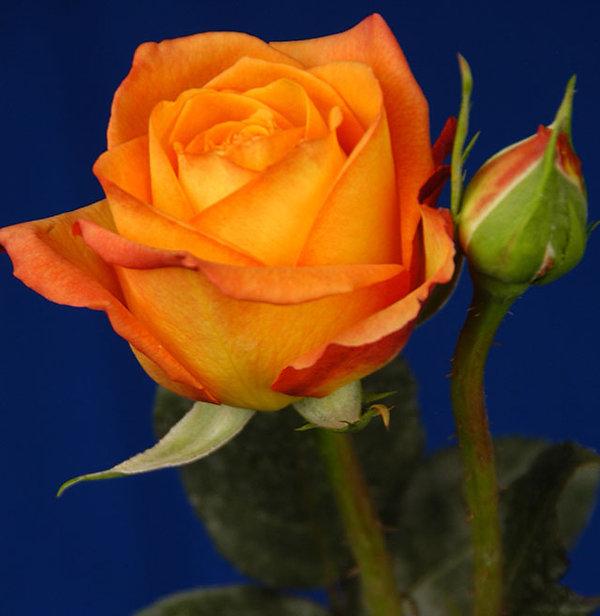 Fiction Deluxe Garden Rose