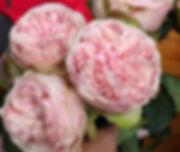Senlitsu Wabara Garden Rose