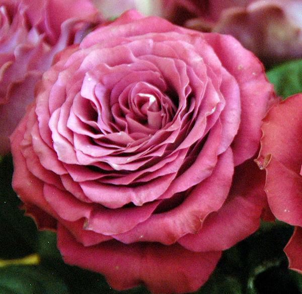 Precios Moments Deluxe Garden Roses