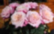 Miyabi Wabara Garden Roses