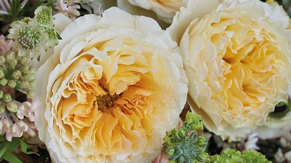 Beatrice English Garden Rose