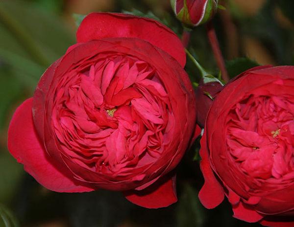 Piano Deluxe Garden Rose