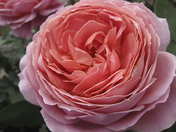 Romntic Antike Deluxe Garden Rose