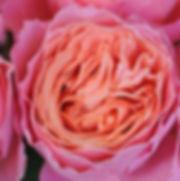 Rosa Loves Me Just a Little Bit More Garden Rose