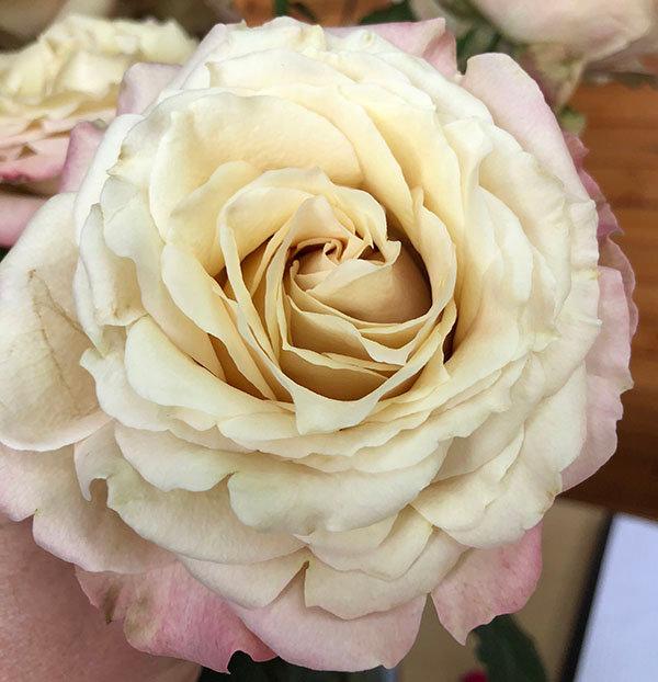 sahara_sensation_garden_rose.jpg