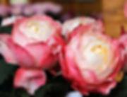 Princess Suki Japanese Garden Rose