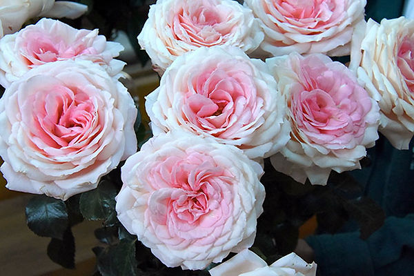 Mayra's Bridal Pink Deluxe Garden Roses