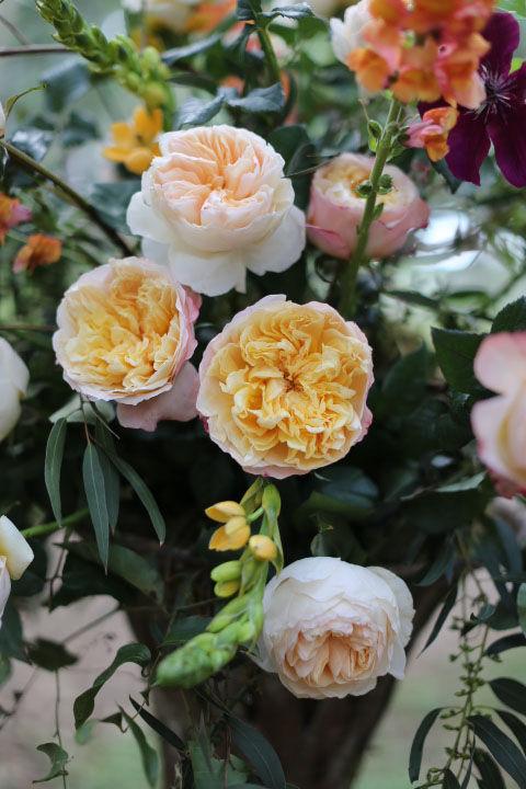 Edith English Garden Rose