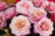 Miyabi Wabara Garden Rose
