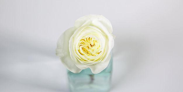Leonora David Austin Rose blooming