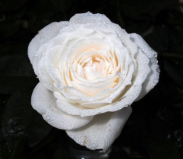 Princess Miyuki Japanese Garden Rose