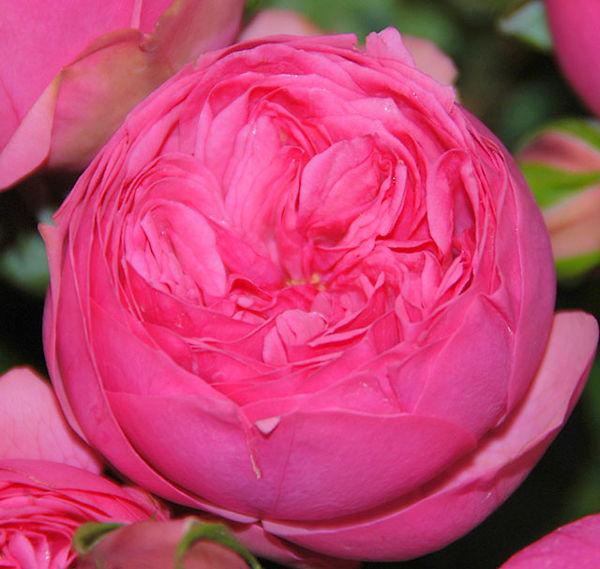 Pink Piano Deluxe Garden Rose