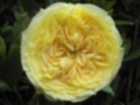 Lemon Pompon English Garden Rose