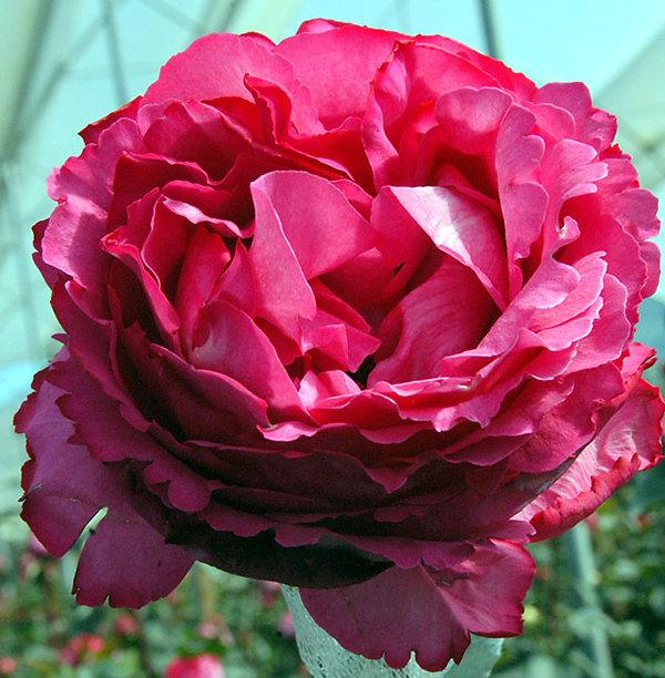 Yves Piaget Deluxe Garden Rose