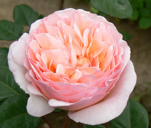 Princss Charlene of Monaco Garden Rose