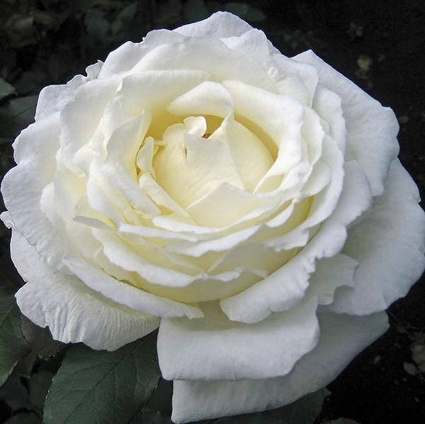 Vitality Deluxe Garden Rose