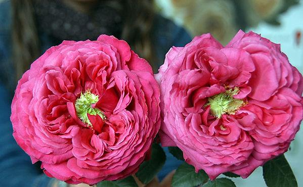 Princess Kishi Japanese Garden Rose