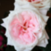 Mayra's Bridal Pink Deluxe Garden Rose