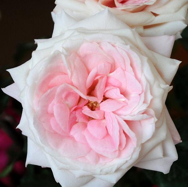 Mayra's Bridal Pink Deluxe Garden Rose