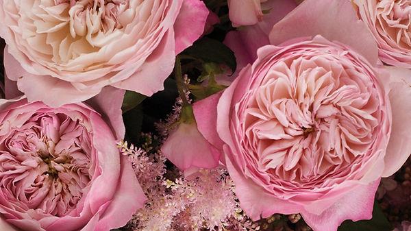 Constance English Garden Rose