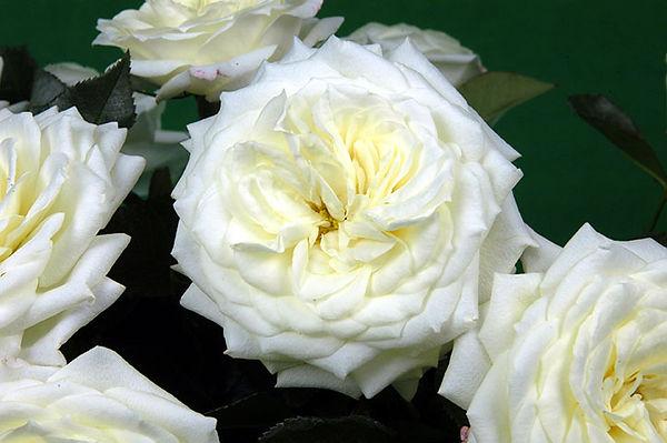 Alabaster Deluxe Garden Rose