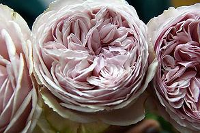 Wabara Garden Roses