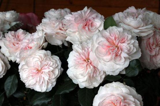 Sabrina Deluxe Garden Roses