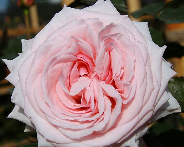 Pink O'Hara Deluxe Garden Rose