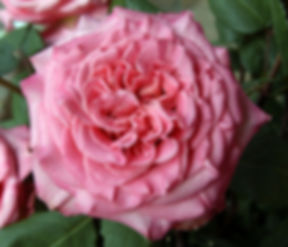 Ashley Deluxe Garden Rose