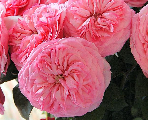 Mariatheresia Deluxe Garden Rose