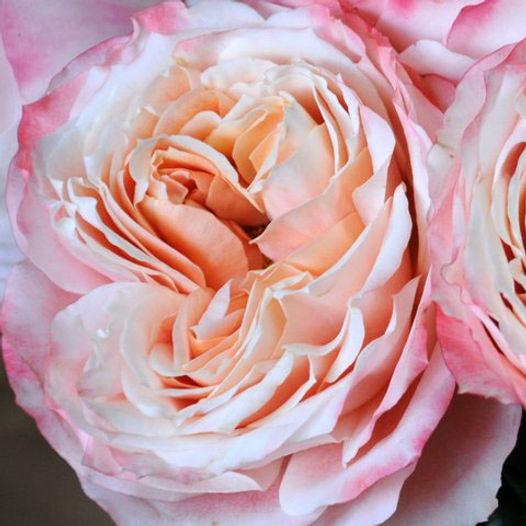 Princess Sakura Japanse Garden Rose