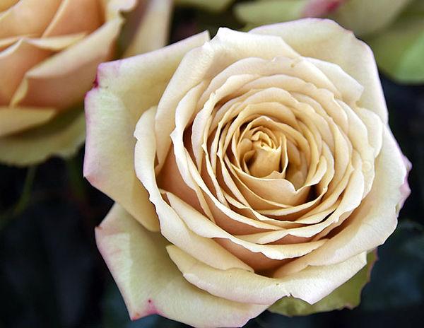 Golden Mustard Deluxe Garden Rose