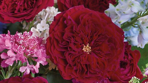 Tess English Garden Rose