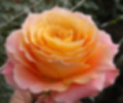 Free Spirit Garden Roses Single.jpg
