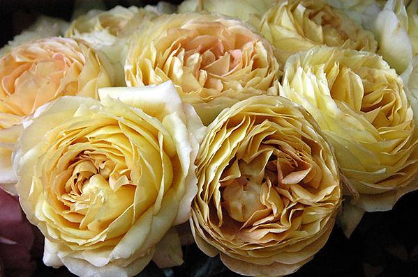 Caramel Antike Deluxe Garden Rose
