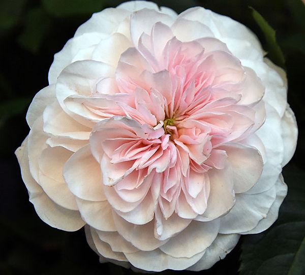 Sabrina Deluxe Garden Rose