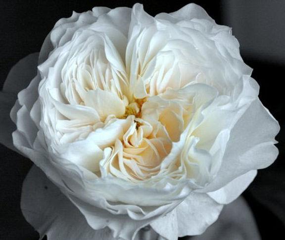 Whit Cloud Deluxe Garden Rose