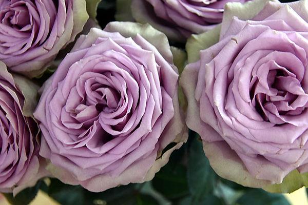 Tiara Deluxe Garden Rose